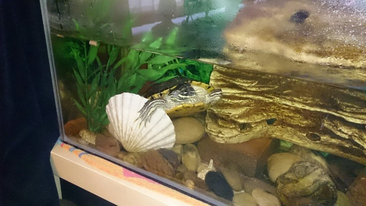 Terry the Terrapin asleep in his tank. You can see he has one arm round the seashell and the other braced up against his rock. His head is turned and his eyes are closed, bless his little heart! You can almost hear him snoring...