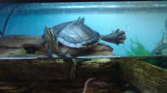 Terry the Terrapin with all feet off the ground. Funny little animal!