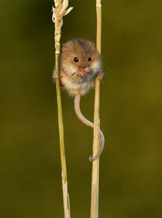 mouse climbing corn