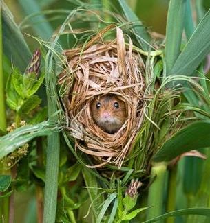 mouse nest